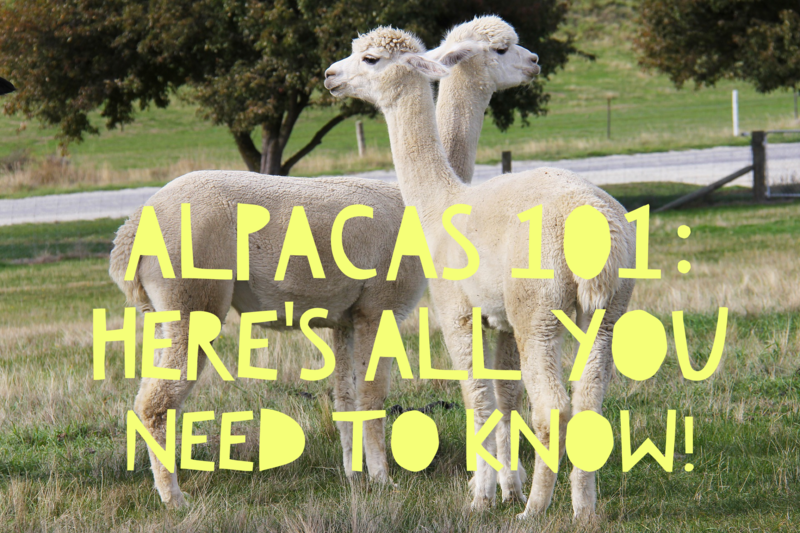 Thinking of getting alpacas? Here's all you need to know