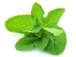 Herbs Mint bunch