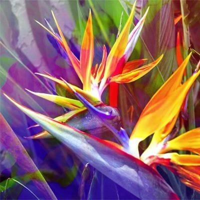 Bird of Paradise Purple - Jan Neil