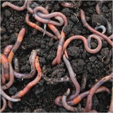 Earthworms and Soil Life