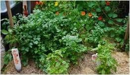 Weeds in Urban Food Garden